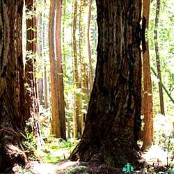 Gigantes-Sequoias-USA